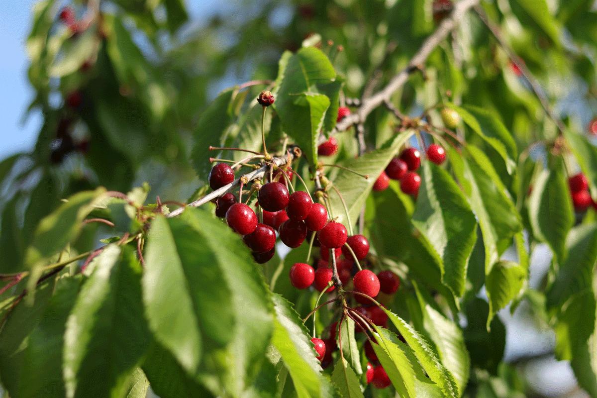 cosecha de cerezas en Nueva Zelanda